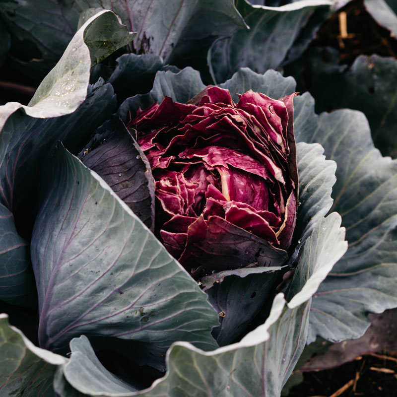 Kitchen Garden Cabbage