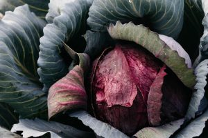 Purple cabbage at the Royal Mail Hotel kitchen garden