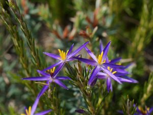 Grampians Wildflowers